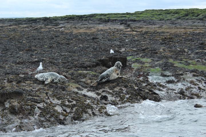 Grey seal boat trip Farne Islands Northumberland