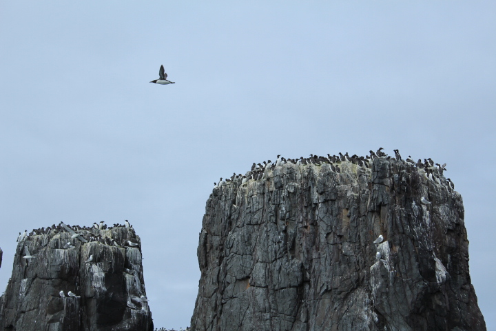 Birds on the Farne Islands northumberland