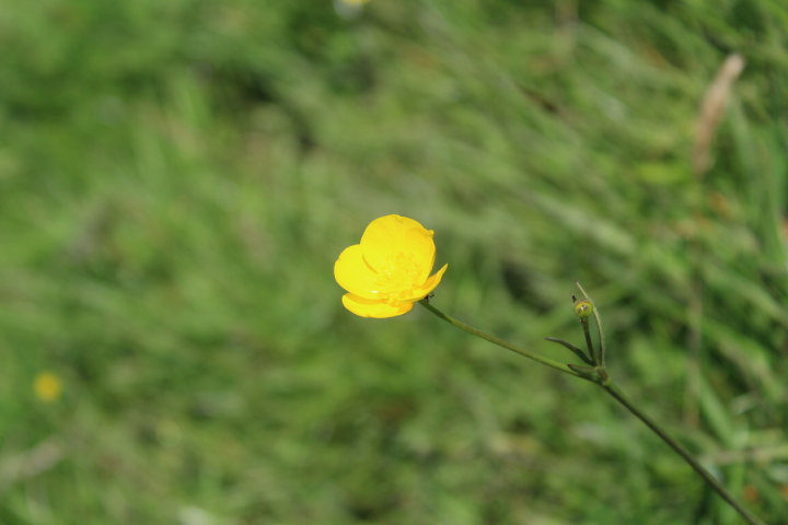 Buttercup in field at hay on wye