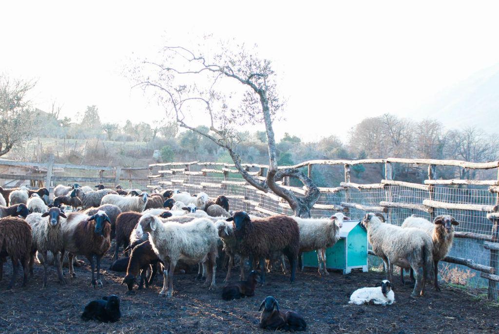 Sheep at La Sonnina in Geazzano