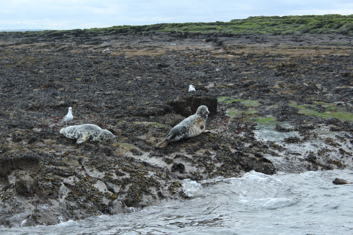 seals on farne islands northumberland