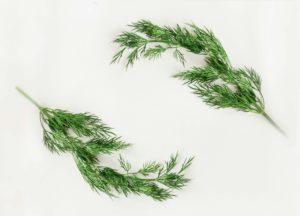 rosemary-herb