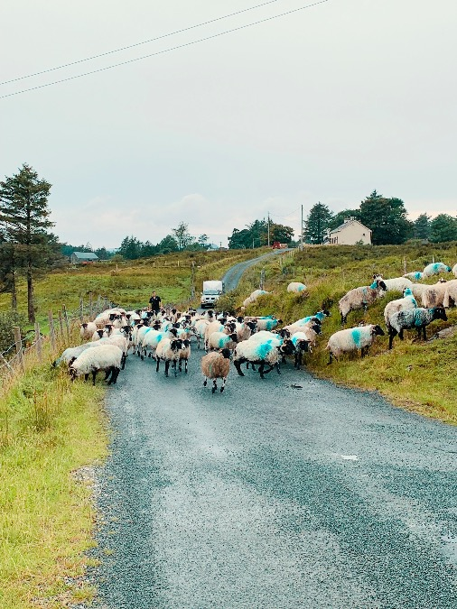 Sheep on Wild Atlantic Way