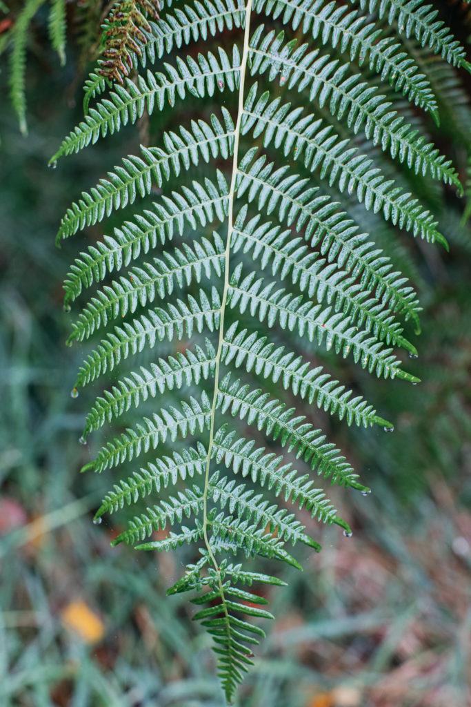 fern leaf in downash wood