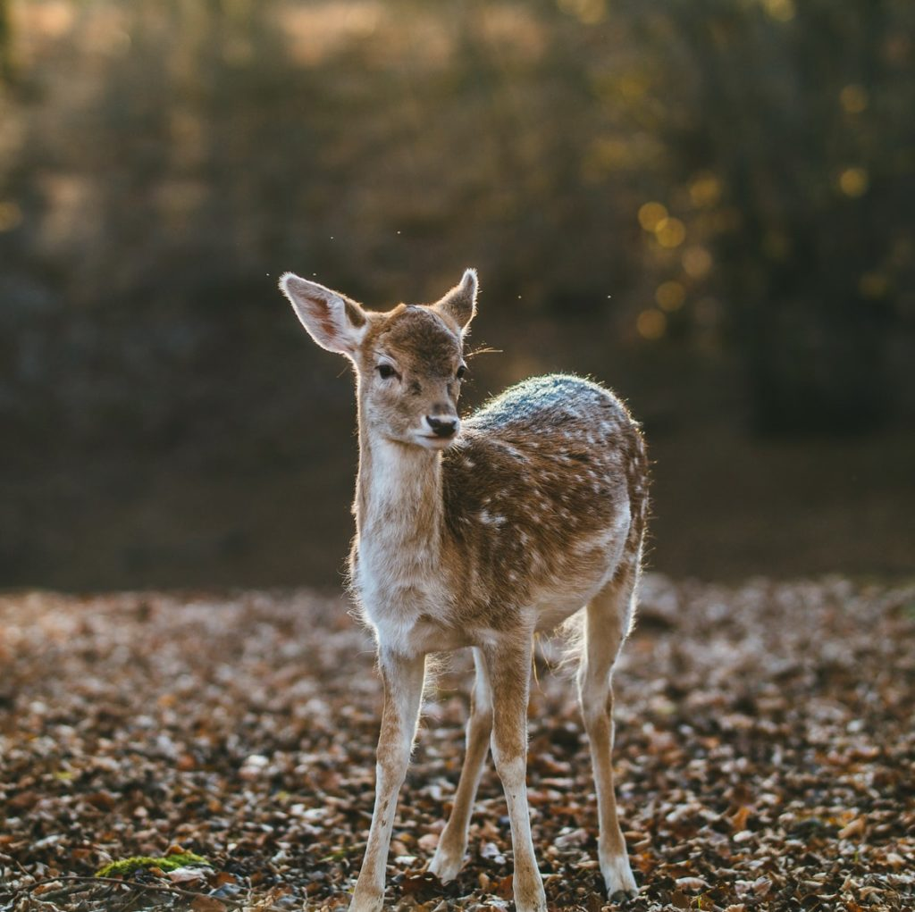 Photo of a fawn in the wood