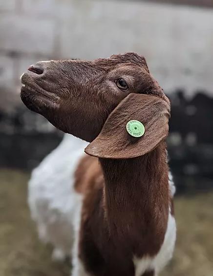 One of the goats at Cronkshank Fold Farm