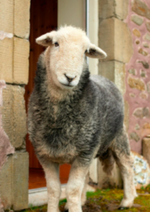 sheep by farm front door