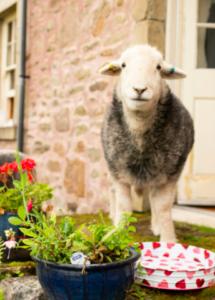 sheep in farmyard