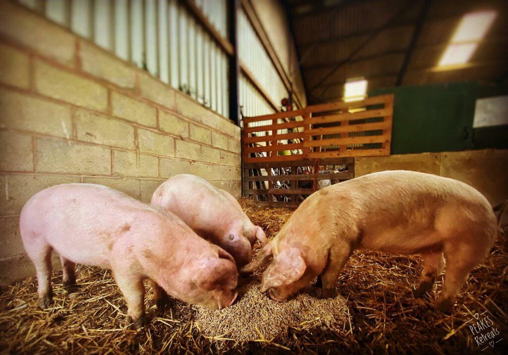 peake's retreats yurts in Staffordshire - farm pigs