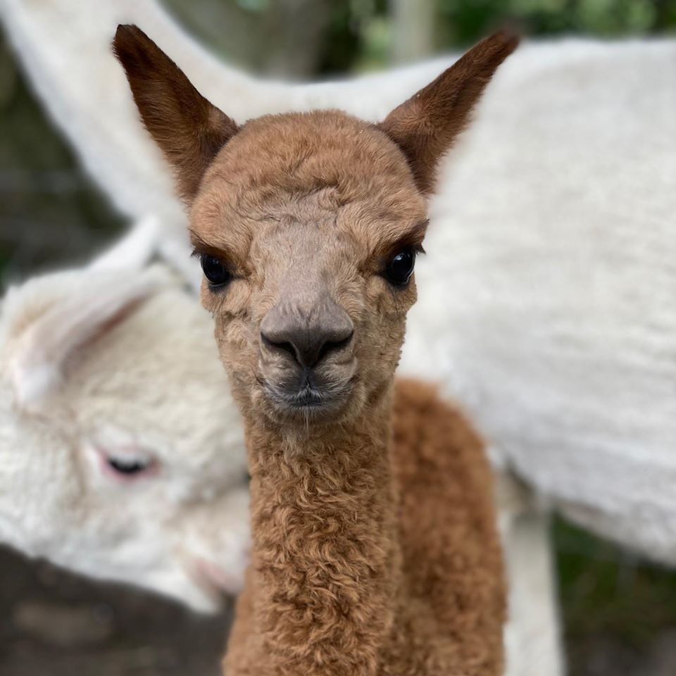 alpaca walking uk at Middle England Farm, Warwickshire - baby alpaca