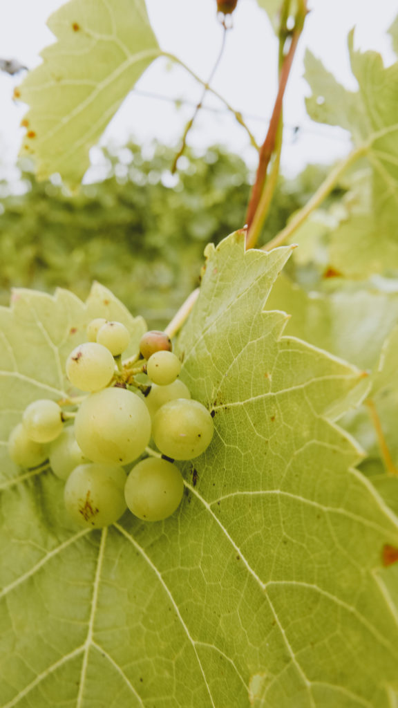 White Castle Vineyard in the Wye Valley
