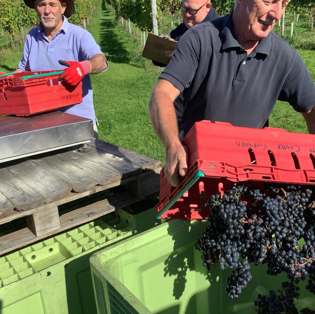 White castle vineyard in Wales: harvest time