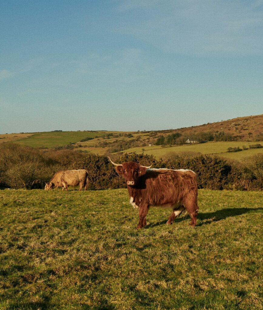 cornish-retreat-cabilla cows