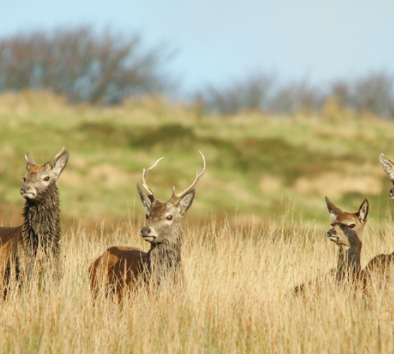 Red stag safari exmoor - deer in grass