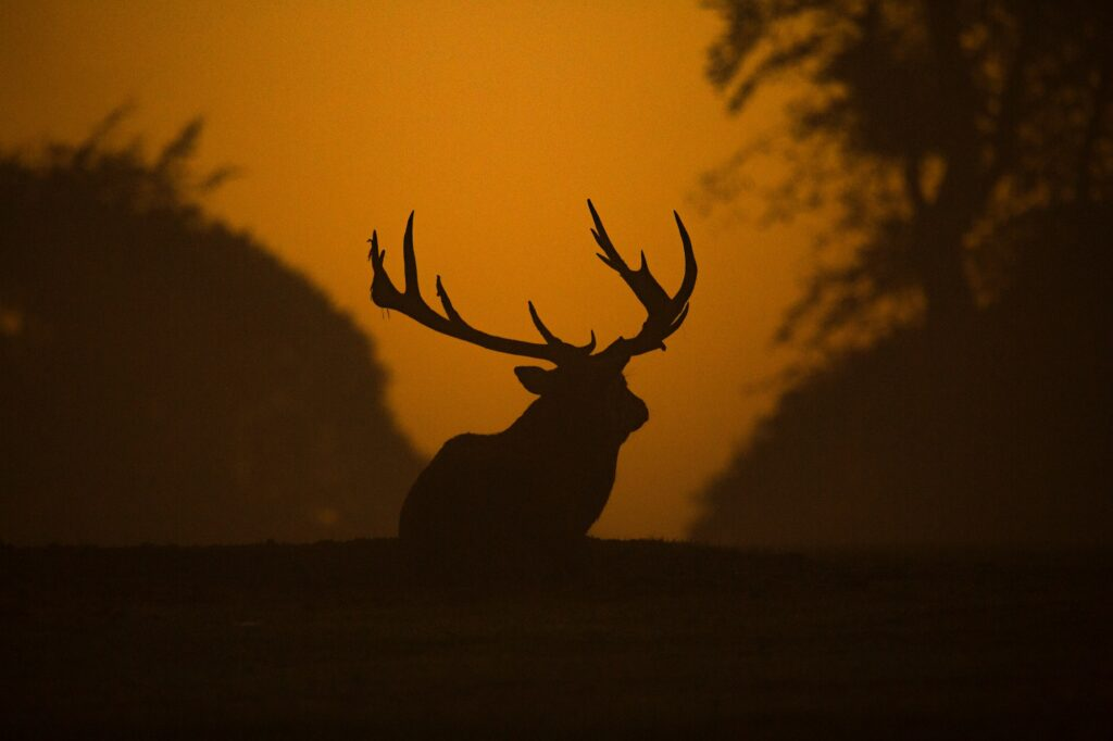 Red stag safari exmoor - stag at sunset